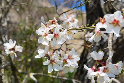 Kwiat wiśni wiosną