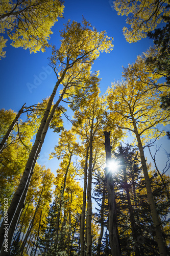Foto op Canvas Arizona Colorful Arizona quaking aspen in autumn