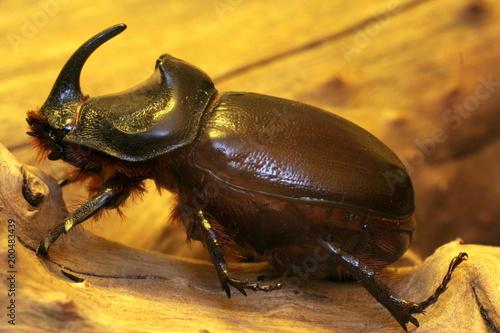 Foto Murales жук Носорог, дерево, кора, Rhino beetle, tree, bark