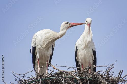 White storks in love game