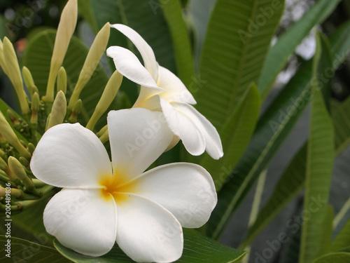 Fotobehang Plumeria white and yellow plumeria frangipani flowers