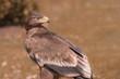 Adler Seeadler