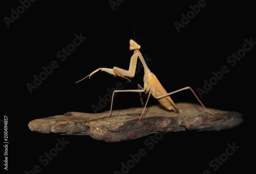 Foto Murales Indian praying mantis