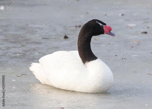 Łabędź z czarnym szyjką siedzi na lodzie