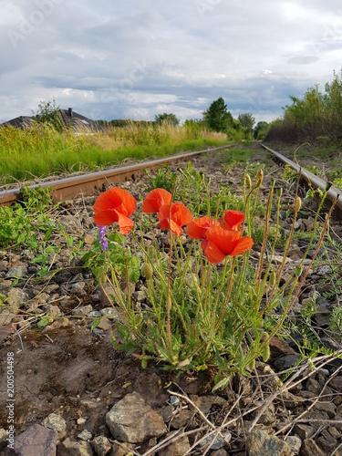 kwiat, pola, czerwień, charakter, mak, kwiat, jary, lato, roślin, mak,  tulipa, zieleń, krajobraz, niebo,  kwiat, rolnictwa, kwiat, blękit, flora, tory kolejowe, maki © Beata