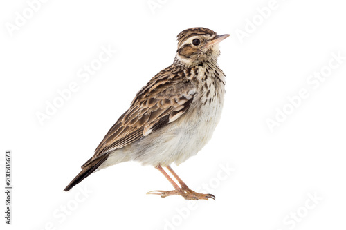 Wood Lark (Lullula arborea) isolated on a white background Poster