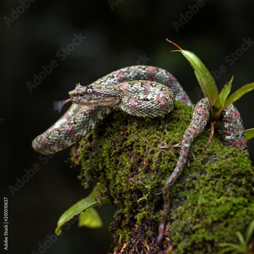 Fototapeta Eyelash Viper - Bothriechis schlegelii, beautiful colored venomous pit viper from Central America forests, Costa Rica
