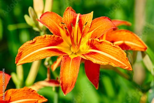 Tygrysia leluja kwiatu zakończenie up w ogródzie