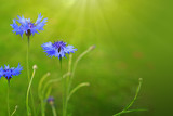 Blue cornflowers in bright sunlight.