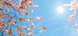 Frühlingserwachen, Glück, Freude, Optimismus, Glückwunsch, alles Liebe: zarte, duftende japanische Kirschblüten vor blauem Frühlingshimmel :) - 200520811