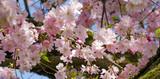 Frühlingserwachen, Glück, Freude, Optimismus, Glückwunsch, alles Liebe: zarte, duftende japanische Kirschblüten vor blauem Frühlingshimmel :) - 200521062