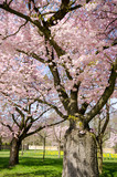 Frühlingserwachen, Glück, Freude, Optimismus, Glückwunsch, alles Liebe: zarte, duftende japanische Kirschblüten vor blauem Frühlingshimmel :) - 200521650