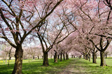 Frühlingserwachen, Glück, Freude, Sonne un Wärme genießen, Optimismus, Glückwunsch, alles Liebe: zarte, duftende japanische Kirschblüten vor blauem Frühlingshimmel :) - 200521897