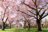 Frühlingserwachen, Glück, Freude, Sonne un Wärme genießen, Optimismus, Glückwunsch, alles Liebe: zarte, duftende japanische Kirschblüten vor blauem Frühlingshimmel :) - 200522092