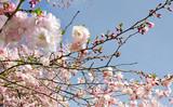 Frühlingserwachen, Glück, Freude, Sonne un Wärme genießen, Optimismus, Glückwunsch, alles Liebe: zarte, duftende japanische Kirschblüten vor blauem Frühlingshimmel :) - 200523234