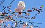Frühlingserwachen, Glück, Freude, Sonne un Wärme genießen, Optimismus, Glückwunsch, alles Liebe: zarte, duftende japanische Kirschblüten vor blauem Frühlingshimmel :)  - 200523435