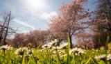 Frühlingserwachen, Glück, Freude, Optimismus, Glückwunsch, alles Liebe: zarte, duftende japanische Kirschblüten und Gänseblümchen vor blauem Frühlingshimmel :)  - 200524673