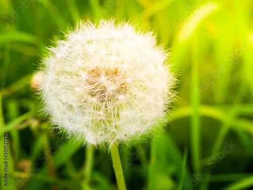 Fotobehang Paardenbloemen Faded dandelion with fluffy white seeds in the green meadow.