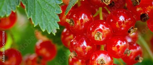 Foto Murales Ripe red currants in the garden.