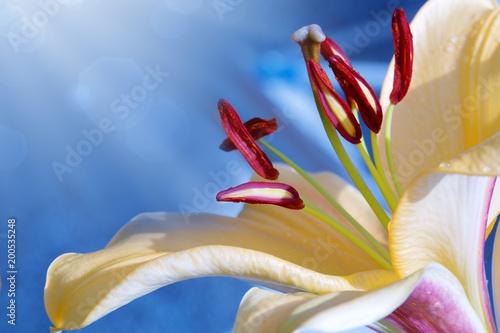 Zbliżenie kwiat Lilly.