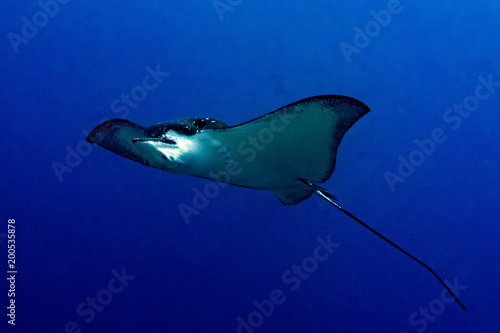 Keuken foto achterwand Tropical strand eagle ray manta while diving in Maldives
