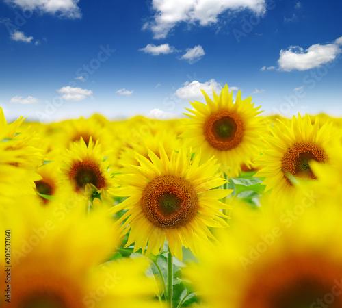 Keuken foto achterwand Geel field of blooming sunflowers