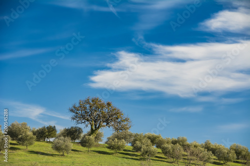 Deurstickers Toscane Tuscany olive grove in sunshine under blue skies