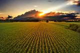 Maisfeld im Sonnenuntergang