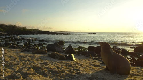 Sea lions on Galapagos beach during sunset