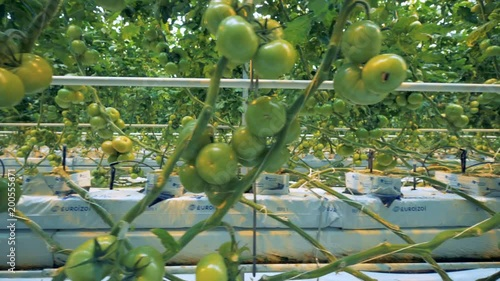 Close up of multiple green tomatoes' clusters alongside with greenhouse equipment