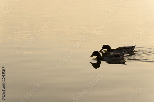 Fotobehang Zee zonsondergang Patos en el lago