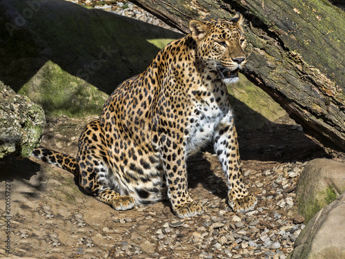Fototapeta Sri Lanka Leopard, Panthera pardus kotiya, is threatened with extinction