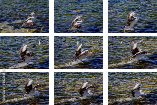 Foto Murales Study of Australian Pelica Landing
