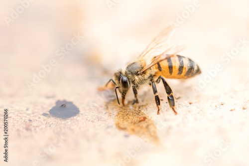 Honey bee - 200570266