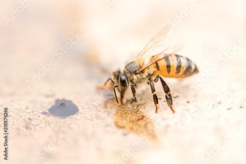Foto Murales Honey bee