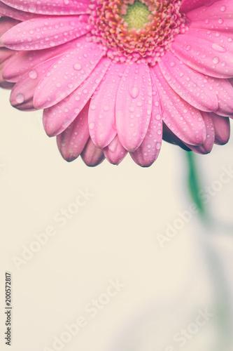 Aluminium Gerbera Pink gerbera with water drops on turquoise background. Macro photography of gerbera flower.