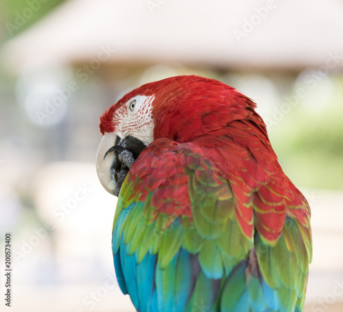 Fotobehang Papegaai Red-and-green macaw