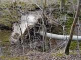 Entwurzelter Baum im Wald