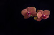 Bright orange Orchid on black background