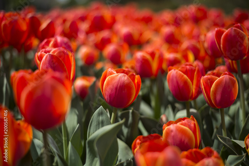Fotobehang Rood traf. Tulip festival in Australia during blooming season