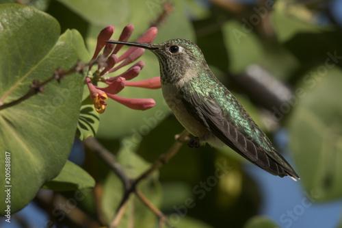 Broad-tailed hummingbird feeding on honeysuckle; Steamboat Springs, Colorado