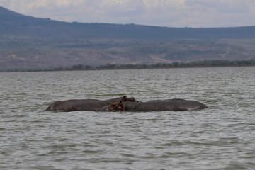 Hippopotame - Lac Naivasha - Kenya