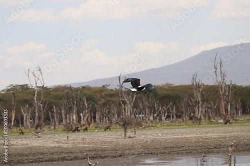 Foto op Aluminium Cappuccino Pygargue vocifère Kenya