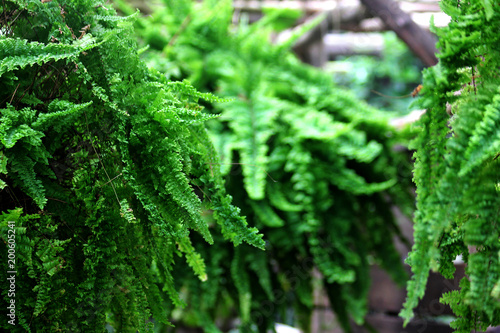 Green fern leaf hanging - 200605241