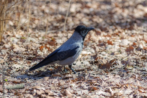 crow on dry leaves