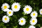 Daisy. Daisy flowers in spring on a meadow in green grass in nature. Marguerite flowers. Floral pattern. Coin flower. Spring and summer flowers background. Daisies. No sharpen.