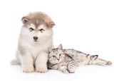 Alaskan malamute puppy  and cat looking at camera. isolated on white background
