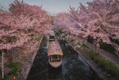 Foto op Plexiglas Zwart 京都 - 中書島 桜
