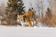 Tiger runs behind the prey. Hunt the prey in tajga in cold winter. Tiger in wild winter nature. Action wildlife scene, danger animal.