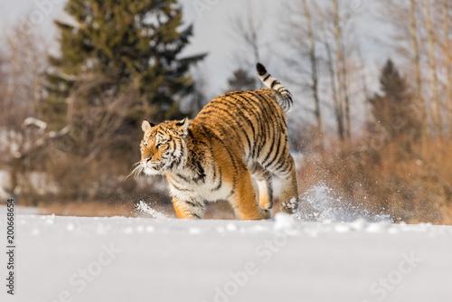 Tygrys biegnie za zdobyczą. Poluj na zdobycz w Tajdze w mroźną zimę. Tygrys w dzika zimowa natura. Akcja scenie przyrody, niebezpieczeństwo zwierząt.